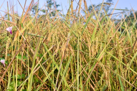 rice in nature field Stock Photo - 16386956