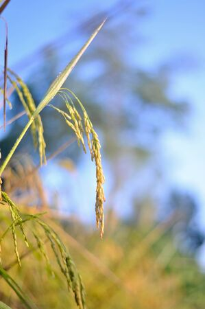 rice in nature field Stock Photo - 16386564