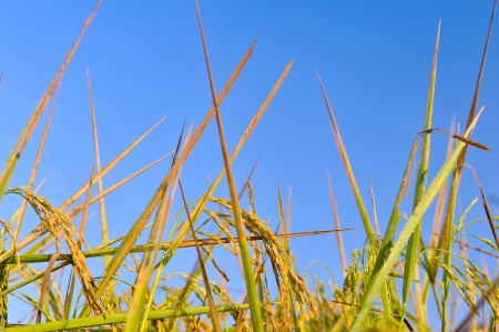 harvesting rice: Paddy field in thailand Stock Photo