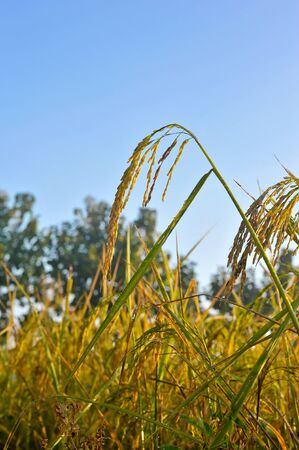 rice in nature field Stock Photo - 16462069