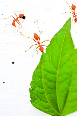 red ant Stock Photo - 16462064