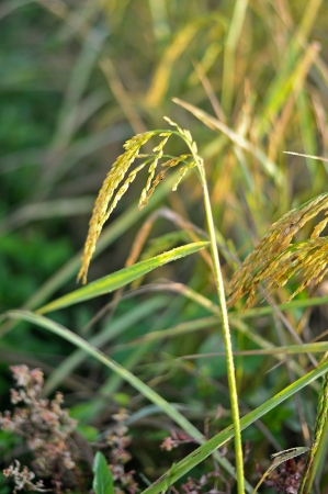 rice in nature field Stock Photo - 16602706