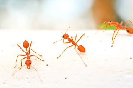 red ant Stock Photo - 16602610