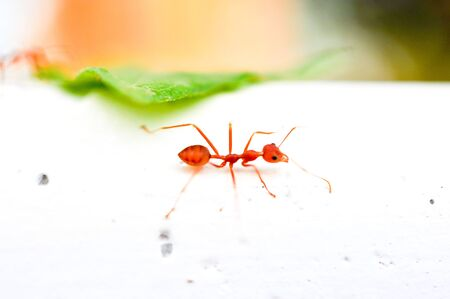 red ant Stock Photo - 16694506