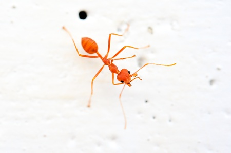 red ant Stock Photo - 16694494