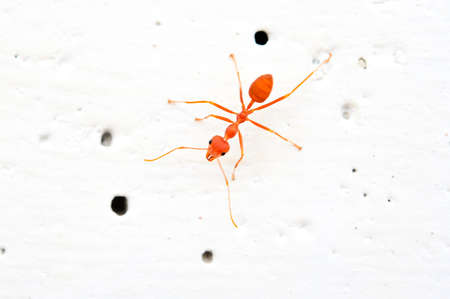close up red ant Stock Photo - 16694493