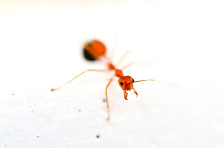 close up red ant Stock Photo - 16962104