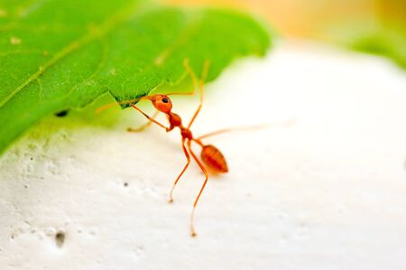 close up red ant Stock Photo - 16962236