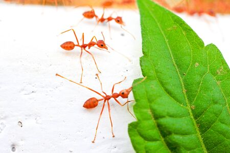 red ant Stock Photo - 16962240