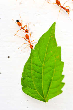 red ant Stock Photo - 16962216