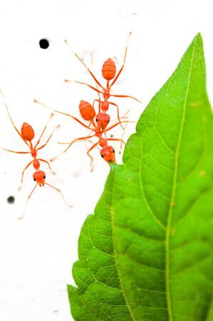 red ant Stock Photo - 17251498