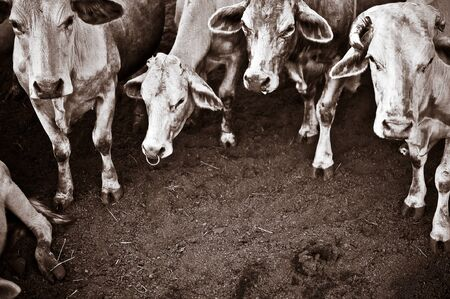 sepia picture add grain of Thailand cattle - Tak breed cows photo