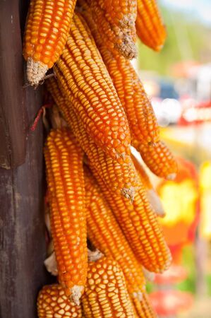 A lot of cob corn, hung to dry in the autumn sun photo