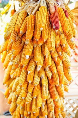golden corn cobs hanging to dry Stock Photo - 17481181