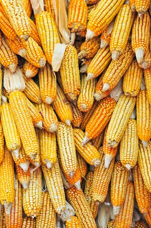 Hanging Dry corn cob Stock Photo - 17481184