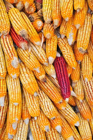 A lot of cob corn, hung to dry in the autumn sun Stock Photo - 17481191