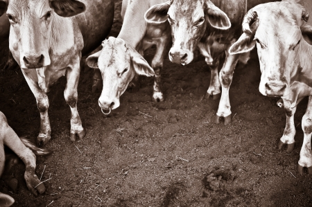 sepia picture add grain of Thailand cattle - Tak breed cows