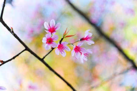 wild himalayan cherry at Doi Angkhang, Chiangmai, Thailand photo