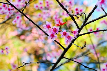 Thai pink sakura blooming in winter at doi angkhang mountain ,Chiang mai ,Thailand