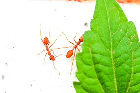 red ant Stock Photo - 17592902