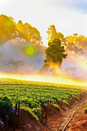 Beautiful landscape and fresh strawberries farm in winter at doi ang khang mountain, Chiangmai   Thailand photo