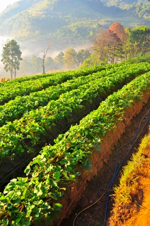 Beautiful landscape and fresh strawberries farm in winter at Chiangmai   Thailand