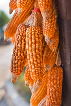 golden corn cobs hanging to dry photo