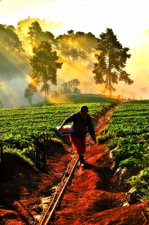 women worker picking strawberries in on doi angkhang mountain, chiangmai   thailand photo