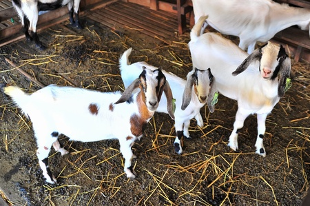 billygoat: Herd of pet goats on farm.