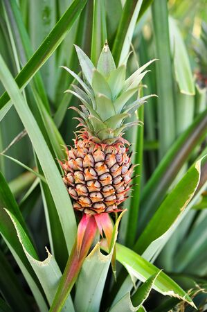 beautiful a young pineapple photo