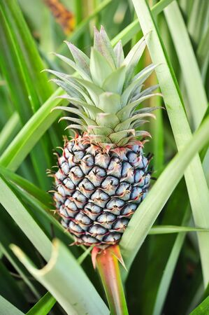 young pineapple in the farm photo