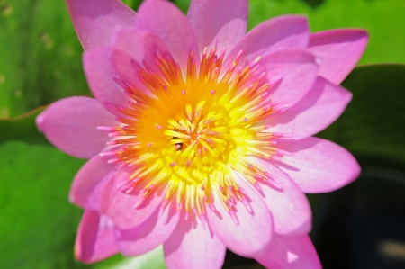 The Top view of Beautiful Pink Lotus in pond photo