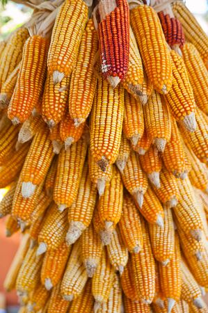 Group of dry corn photo
