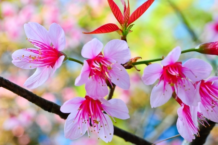 Sakura pink flower on doi angkhang mountain in chiangmai thailand, cherry blossom photo