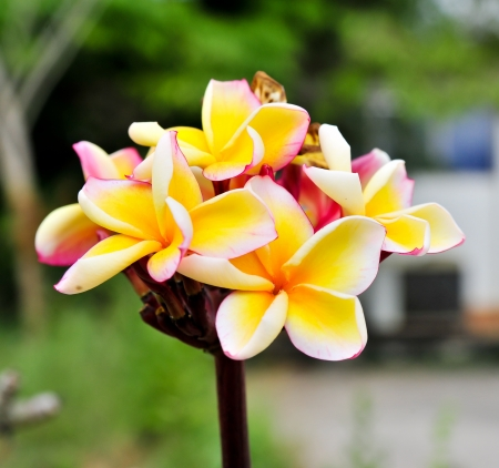 Bunch of colorful fragrant frangipani or plumeria tropical flowers photo