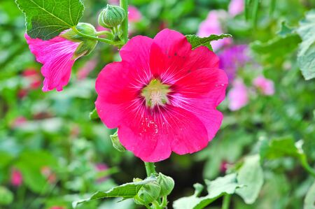 Pink malva Silvestris  Mallows photo