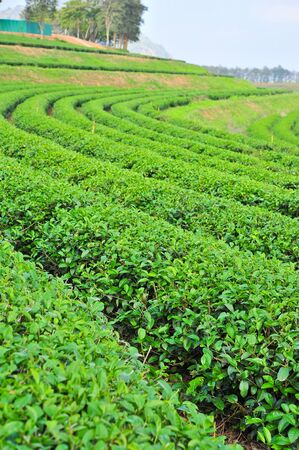 Tea garden, north of Thailand photo
