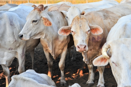 A herd of tak breed cows on farm photo