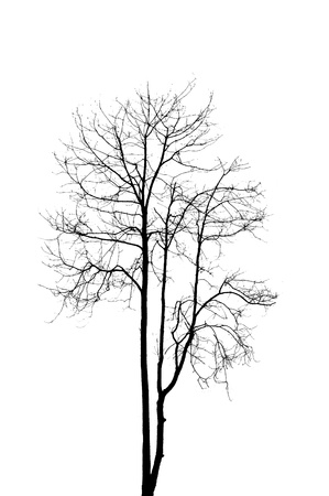 dead tree without leaves isolate on white background