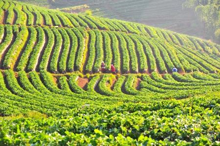 Strawberry farm on Doi Angkhang mountain, Chiang Mai, Thailand photo