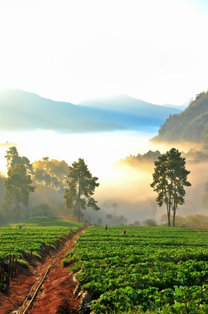 Beautiful landscape and fresh strawberries farm in winter at doi angkhang mountain,  Chiangmai   Thailand