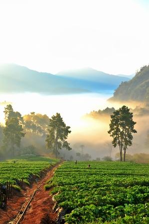 doi: Bellissimo paesaggio e fragole fresche fattoria in inverno a Doi Angkhang montagna, Chiangmai Thailandia