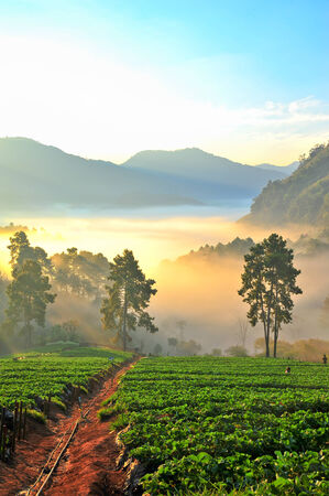 misty morning in strawberry garden at doi angkhang mountain, chiangmai   thailand