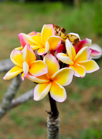 Close up of frangipani flower or Leelawadee flower on the tree  photo