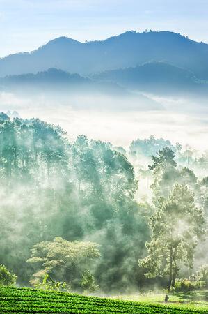 misty morning in strawberry farm at doi angkhang mountain, chiangmai : thailand photo