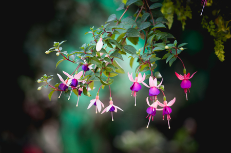 Fuchsia flower or Lady photo