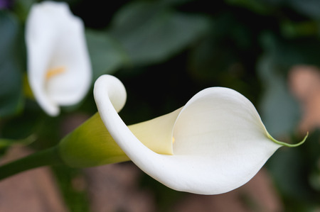 close up beutiful calla lily on garden photo