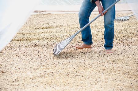 arbol de cafe: proceso de secado de los granos de caf� en la sala limpia
