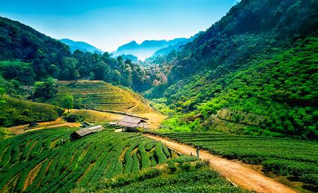 Tea plantations on angkhang mountain, chiang mai, thailand 写真素材