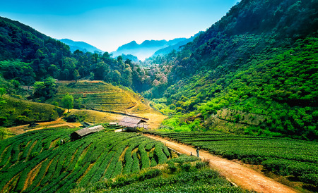 Tea plantations on angkhang mountain, chiang mai, thailand Stock Photo